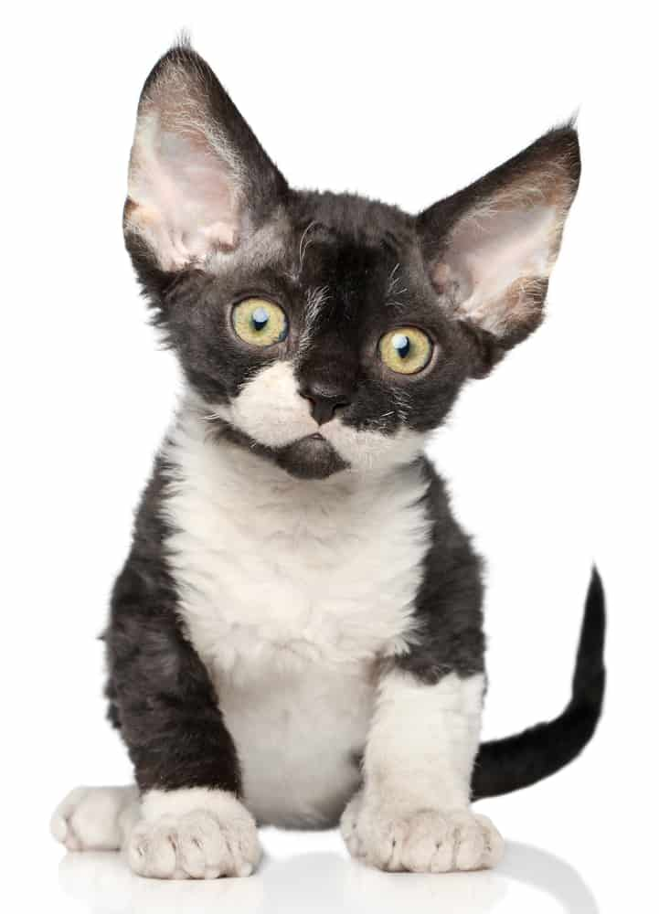 222 Black and White Cat Names For Your Unique Kitty - Tuxedo Cat 7
