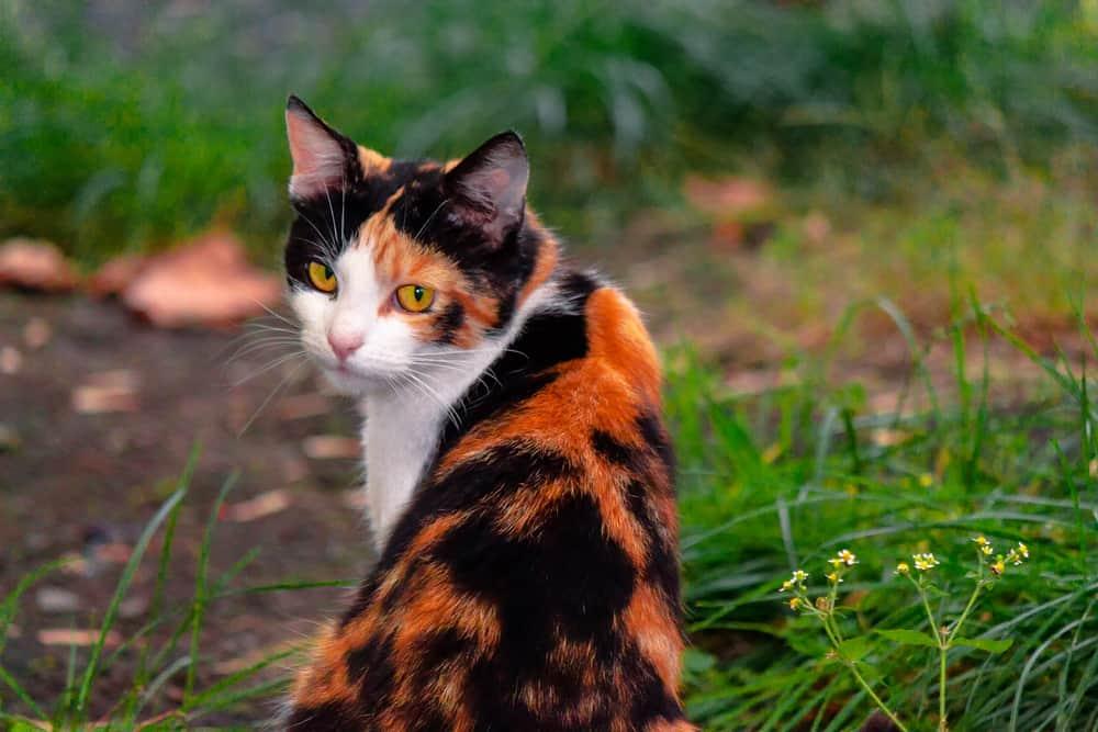 The Best 153 Calico Cat Names For Your Precious Feline