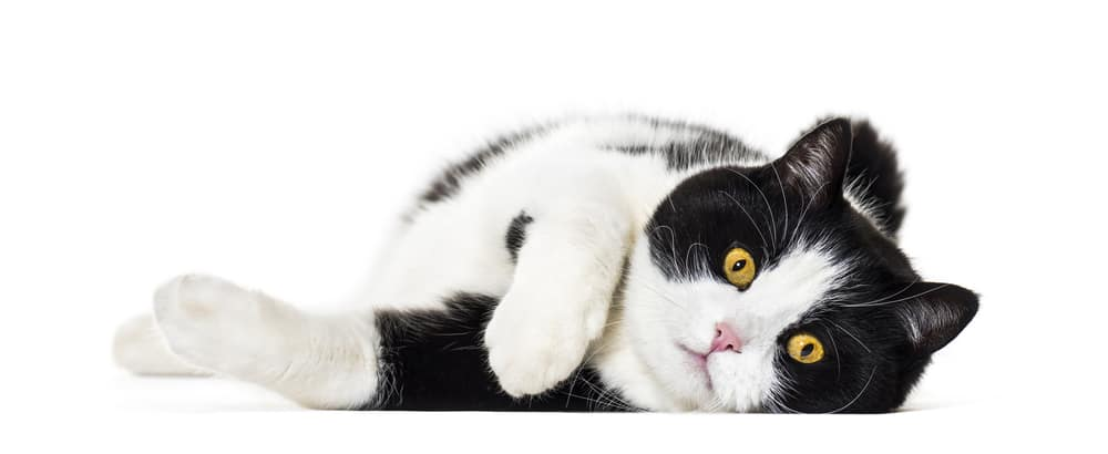 222 Black and White Cat Names For Your Unique Kitty - Tuxedo Cat 5