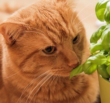 image of a feline sniffing a basil plant