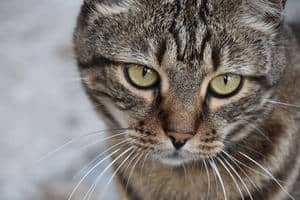 image of a tabby kitty