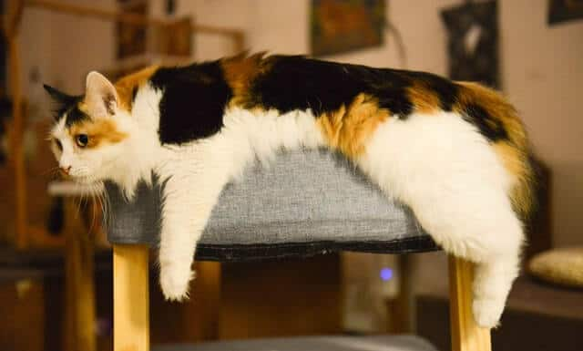 Interesting Calico Cats Facts You Wish You Knew! 3