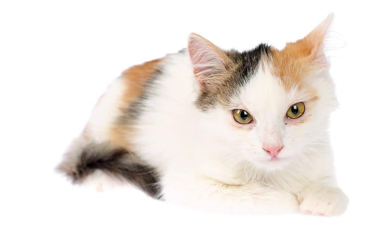 The Best 153 Calico Cat Names For Your Precious Feline 6
