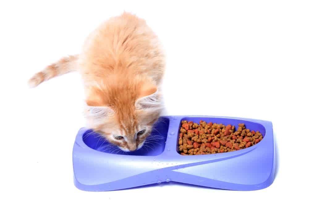 di quanta acqua ha bisogno un gatto