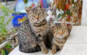 image of three tabby kitties