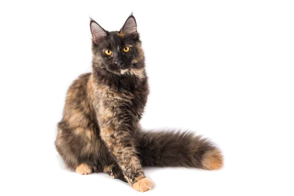 278 Tortoiseshell Cat Names For Unique Feline Beauties 3