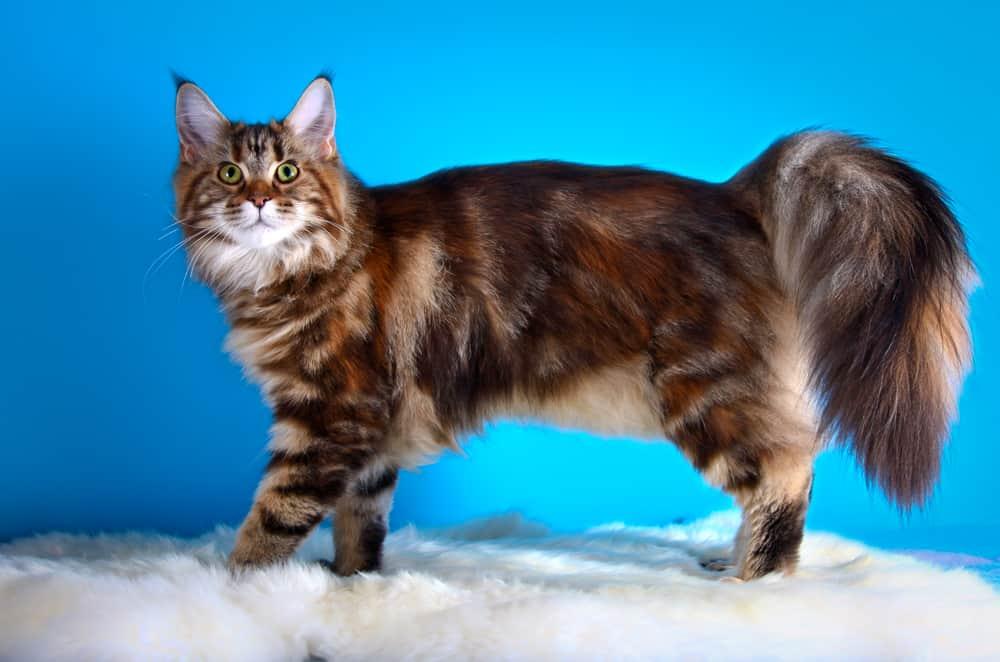 Norwegian Forest Cat vs. Maine Coon