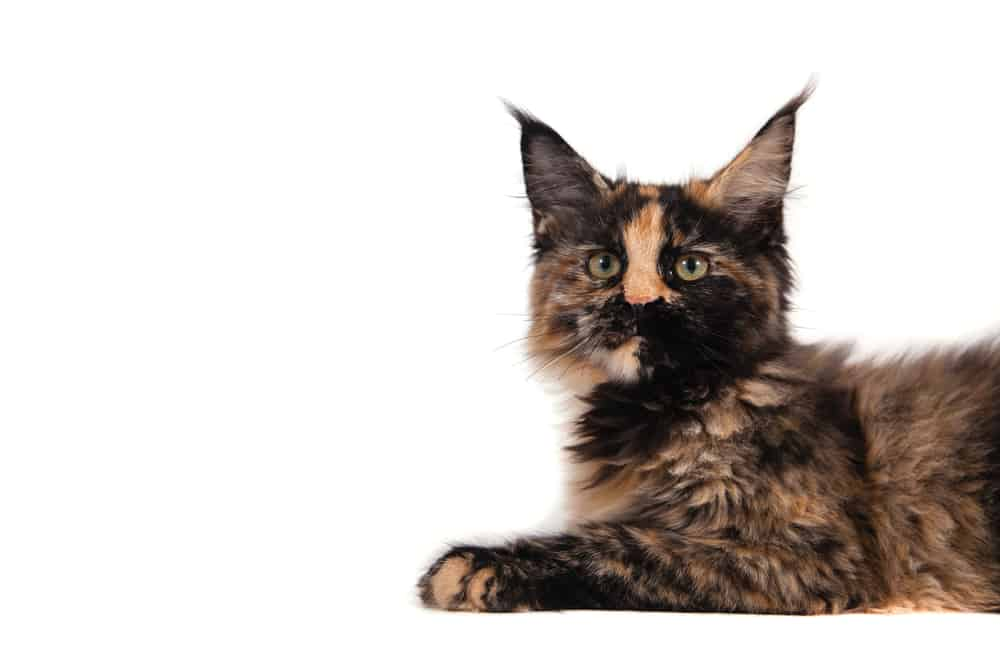 278 Tortoiseshell Cat Names For Unique Feline Beauties 8