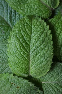 mint leaves in close up