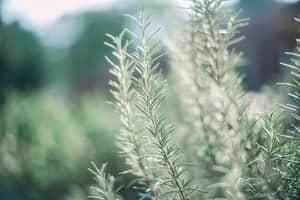 Rosemary isolated on a blurred background