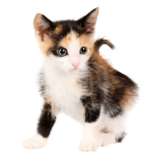 The Best 153 Calico Cat Names For Your Precious Feline 7