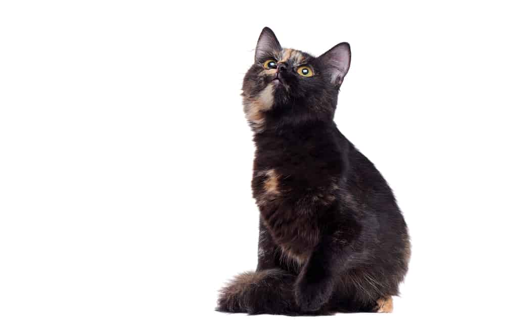278 Tortoiseshell Cat Names For Unique Feline Beauties 5