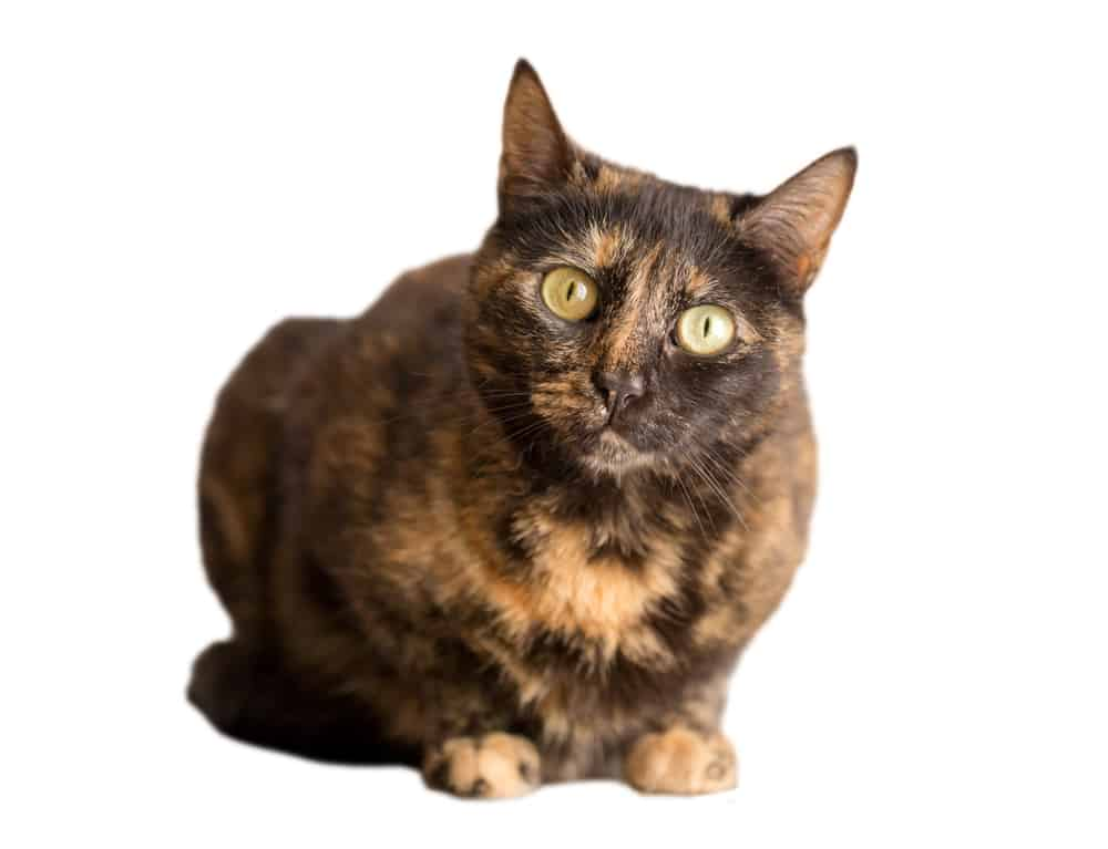 278 Tortoiseshell Cat Names For Unique Feline Beauties 4