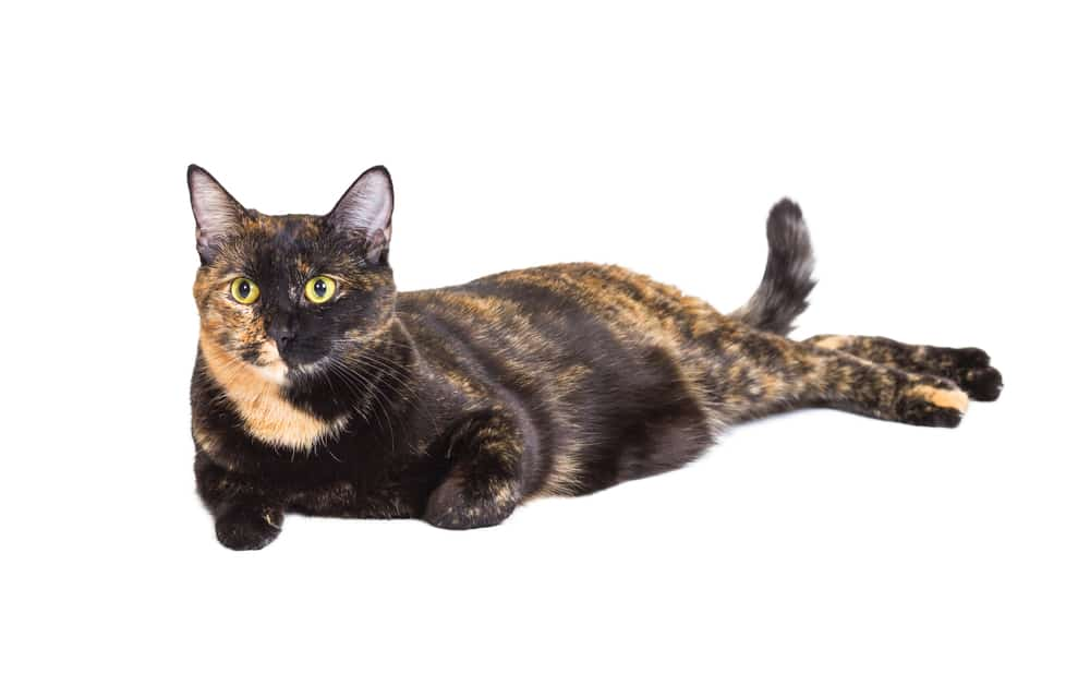 278 Tortoiseshell Cat Names For Unique Feline Beauties 9