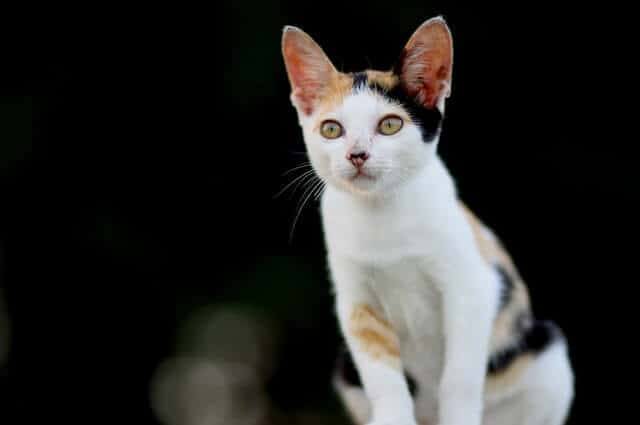 Interesting Calico Cats Facts You Wish You Knew! 2