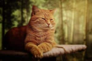 image of an orange tabby