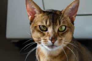 image of a Abyssinian feline