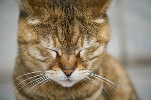cat with closed eyes in closeup