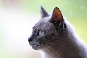 Picture of gray cat isolated on green blurry background
