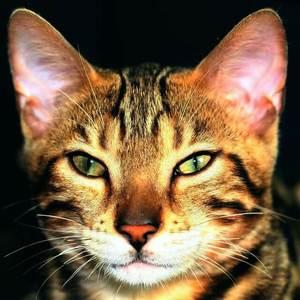 image of a face of a tabby feline