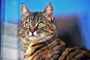 image of a striped tabby