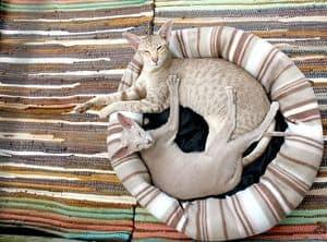 image of two Egyptian felines sleeping