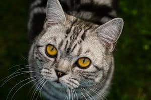 image of a grey tabby kitty