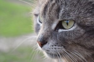 image of a gray feline face