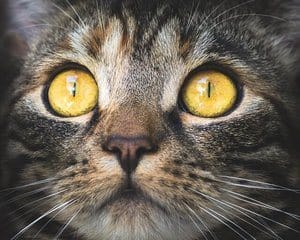 Cat with yellow eyes in close-up