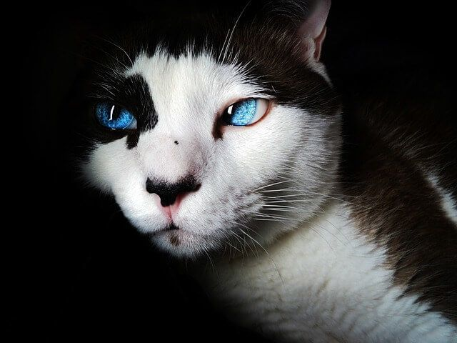 A beautiful black and white cat with sky blue eyes, isolated on dark background