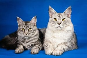 image of two long haired felines