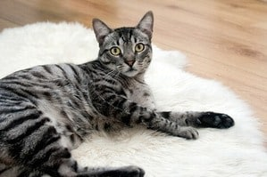 image of a silver Bengal kitty