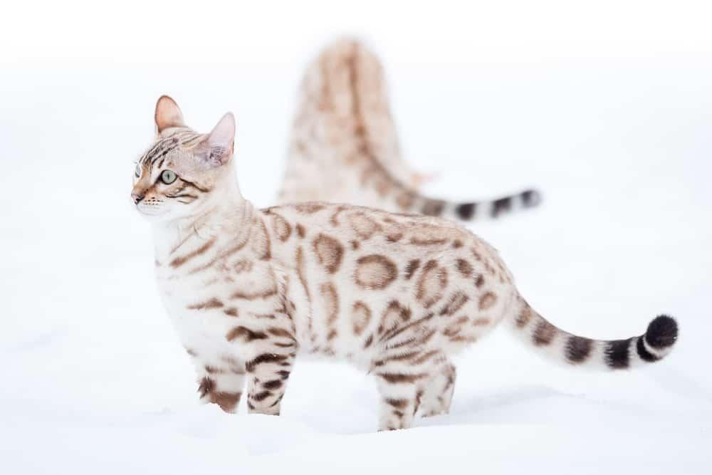 212 Greatest Bengal Cat Names 10