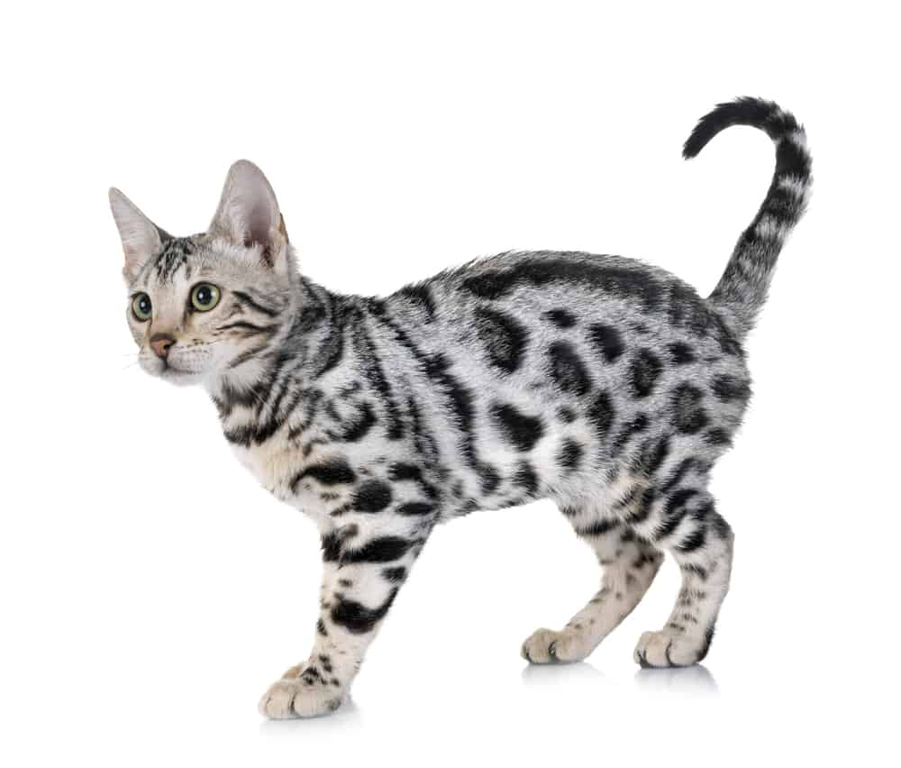 Powerful 369 Male Cat Names For Your Fearsome Feline 10