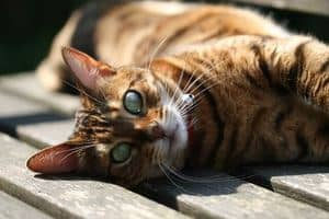 image of a Bengal feline outdoors