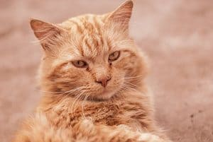 image of a sand color kitty