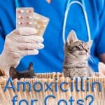 Amoxicillin For Cats - Usage, Dosages And Side Effects