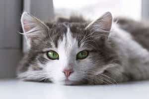 a picture of a cat lying on her stomach