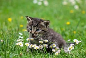 a picture of a cat on the grass between a daisies