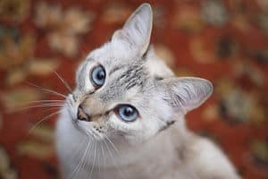 image of a silver coat kitty