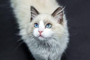 White cat with blue eyes isolated on dark background
