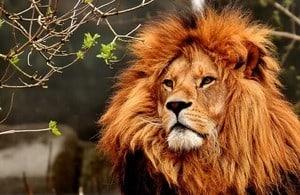 Picture of orange lion