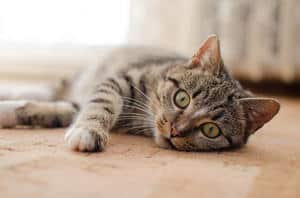 image of a feline laying on the floor