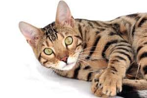 Bengal cat looks scared