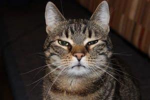 image of a jealous feline