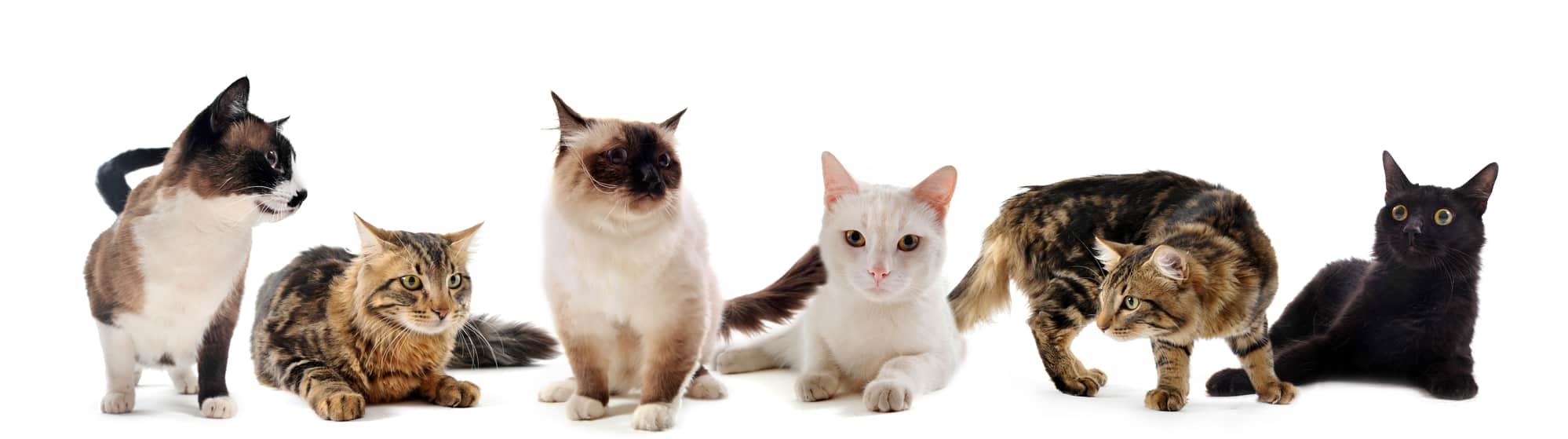 beautiful purebred cats