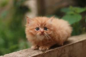 yellow puffy kitten crouches on a fence