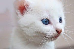 white cat with beautiful blue eyes isolated on white background