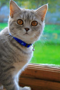 image of a kitty with a blue cat collar