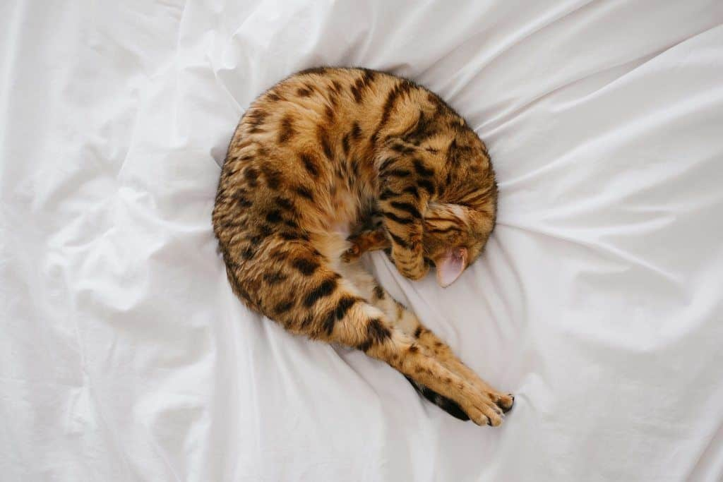 cat curled up in pain on a white bed